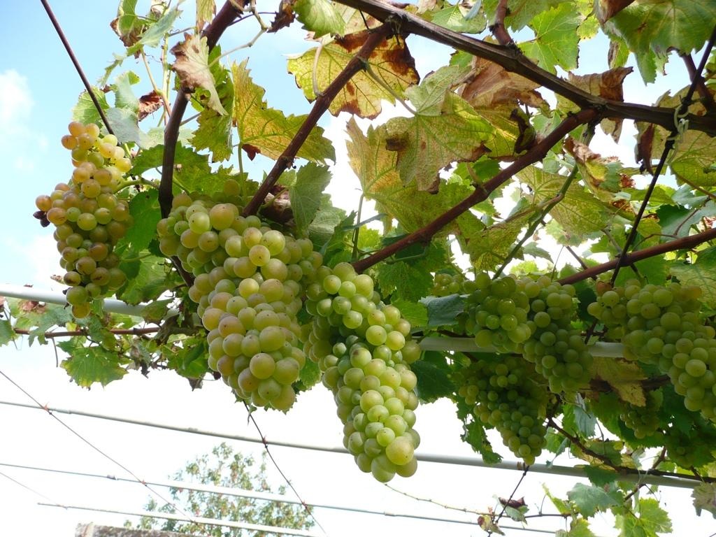 Oh! uvas blancas, venid a mí