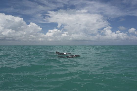 Sian Ka'an. 4 delfines junto a la lancha