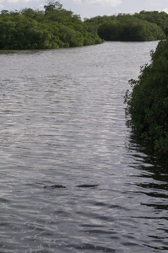 Laguna de Sian Ka'an, el cocodrilo descansa